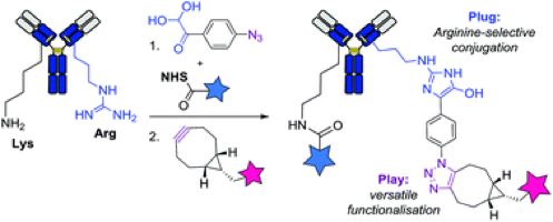 Arginine-selective bioconjugation with 4-azidophenyl glyoxal: application to the single and dual functionalisation of native antibody, Org. Biomol. Chem., 2018, 16, 1305-1311.